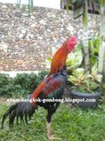 Teknik Bertarung Ayam Bangkok Gambar 3