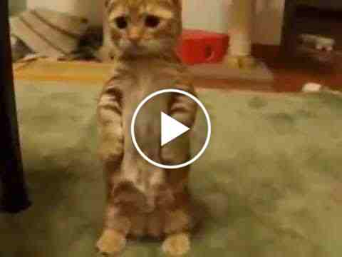 Image of: Funny Clips This Cute Little Guy Can Make Your Day Especially If You Are Fun With Watching Cats Videos Playing With Hisher Owner With Bell Stick And Looking Too Jokes And Funny Funny Jokes Videos Pictures Quotes