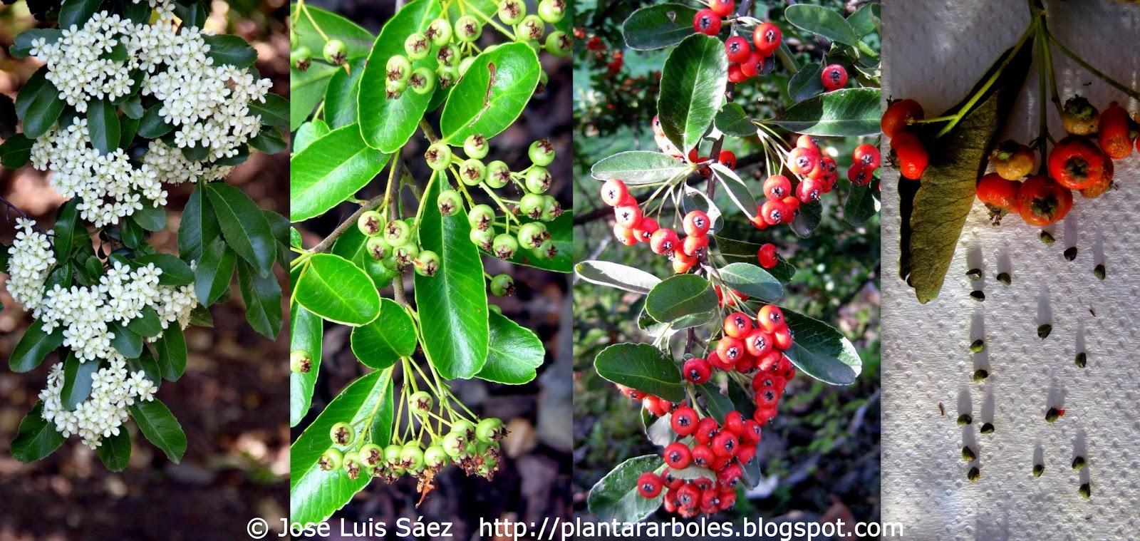 Plantar rboles y arbustos arbustos no aut ctonos de for Plantar hortensias semillas