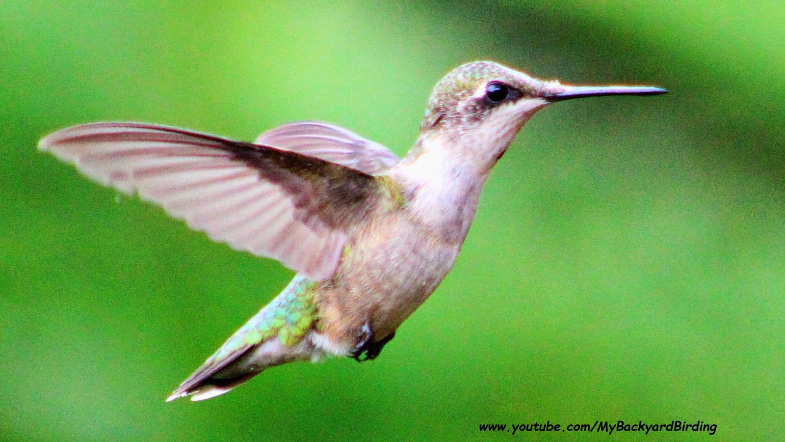 Hummingbirds Hover More Efficiently Than Helicopters