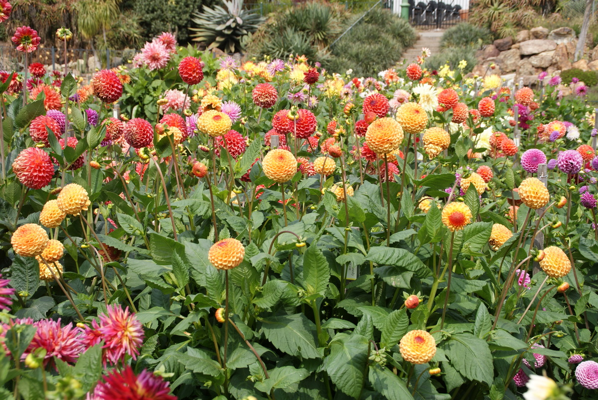 Organic garden dreams the dahlia garden in golden gate for Flowers that look like dahlias