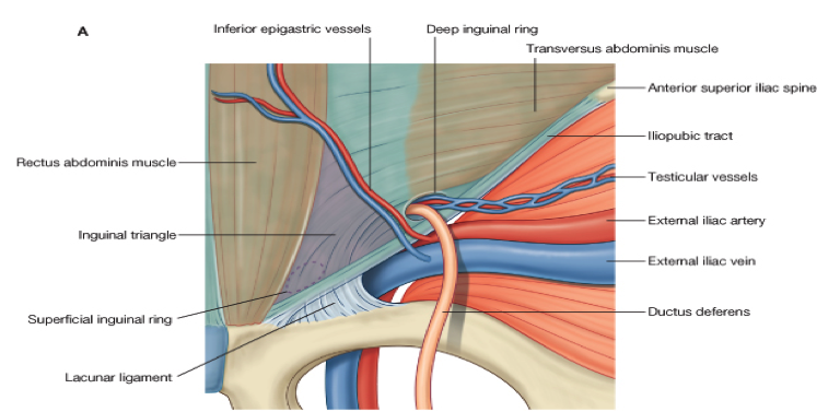 Anatomy of inguinal canal