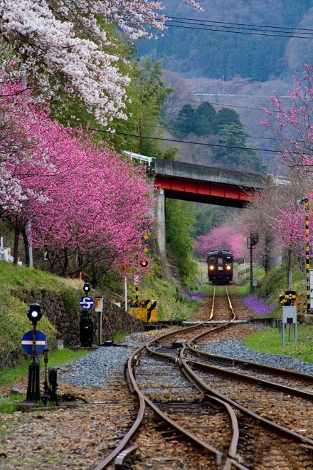Cherry Blossom Train