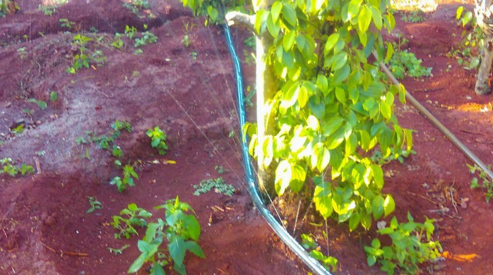 dây tưới hồ tiêu dạng phun mưa phi 34