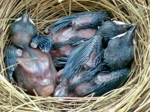 Budidaya Burung Ternak MuraiPenghasilan Tambahan Warga Desa