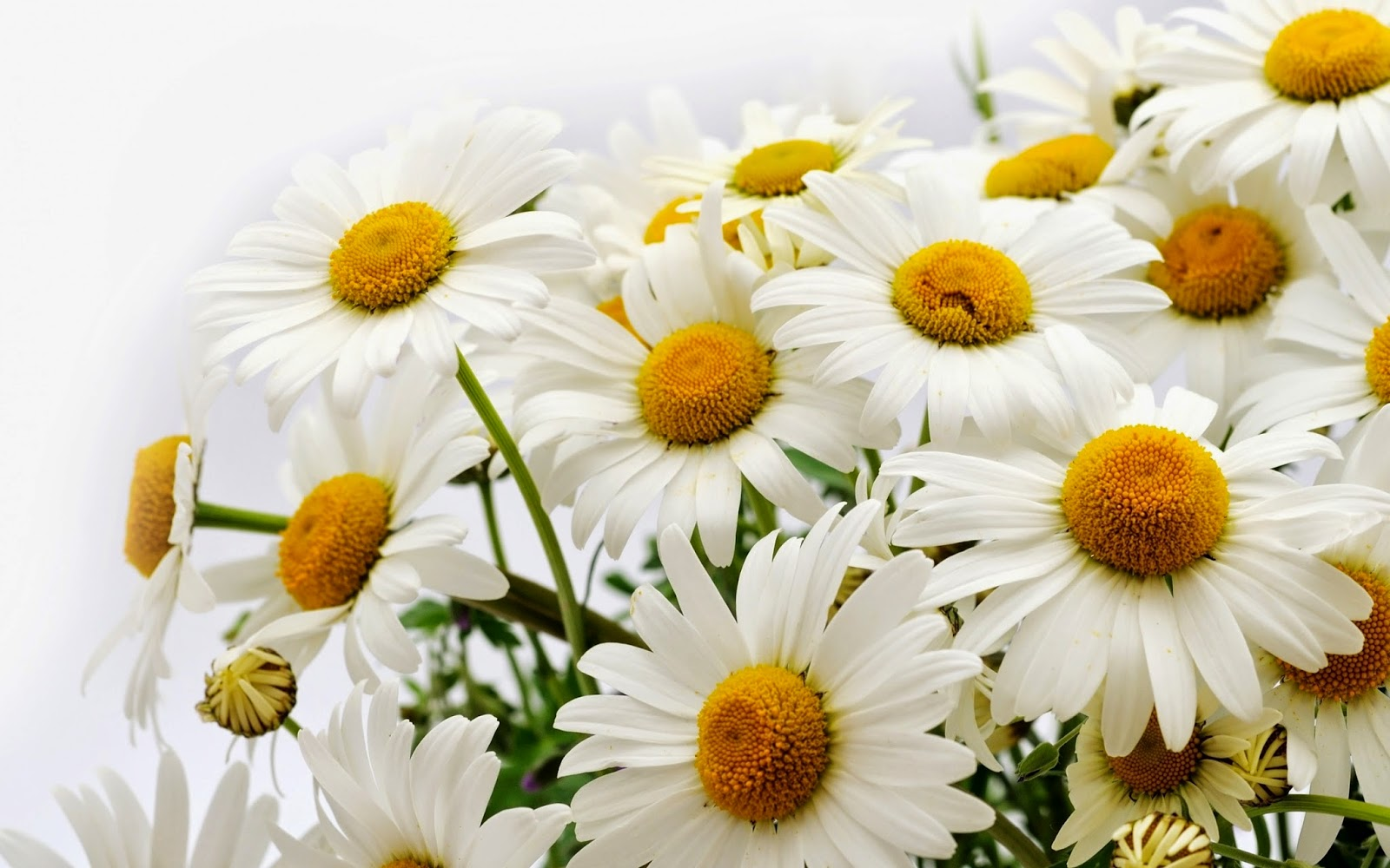 Gerbera-Daisy-flowers-pictures-HD-free-download.jpg