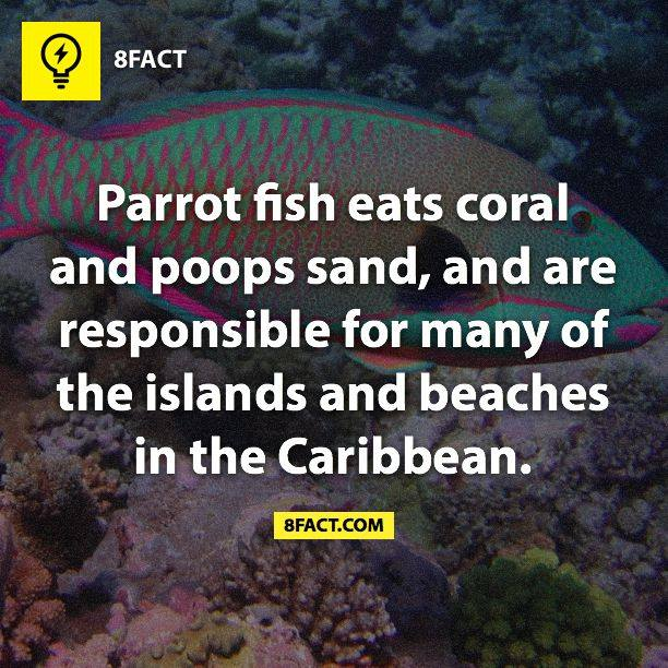 Parrot fish eats coral and poops sand and are for Parrot fish facts