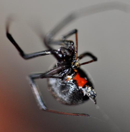 desert black widow spider - photo #12