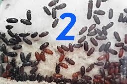 8 Khasiat dan Manfaat Semut Jepang Untuk Kesehatan dan Kecantikan