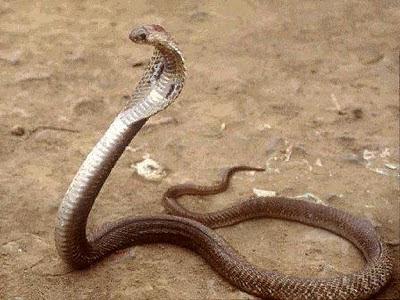 King+Cobra+Snake-01