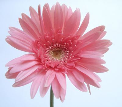 best  daisy flower photos ideas on   daisy, daisy, Natural flower