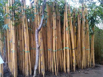 Cara Menanam Dan Budidaya Bambu