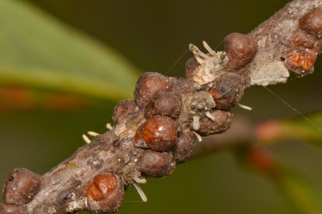 scale insect enemies