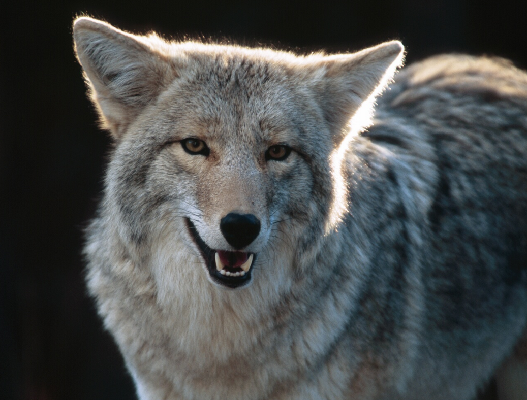 Stop wolf hunts all about wolves from exposing the big game biocorpaavc