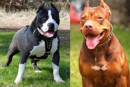 gambar hewan - gambar anjing pitbull