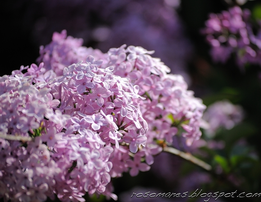 Now Lilacs Are Blooming In March >> A Rose Is A Rose Lilacs And Lavenders