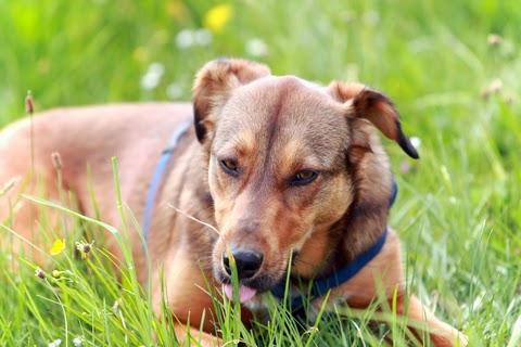 Por qué mi perro come pasto: Cuidados y nombres para tu mascota. Perro lame hierba
