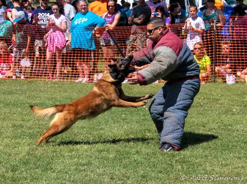 Police Dog Demo at the 2014 Sacramento SPCA Doggy Dash