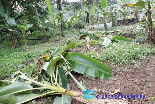 Malappuram, Kalikavu, Kerala, Banana Tree, Elephant