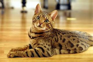 gato asiático humo atigrado