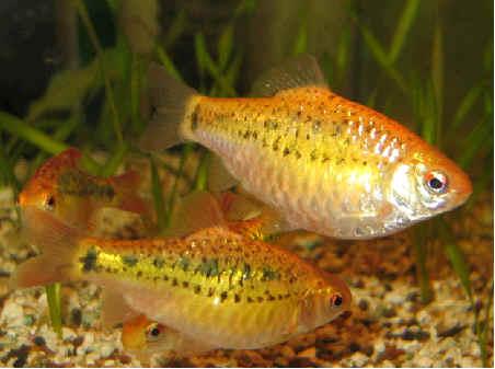 Shamudra bilash danio shark barb fish for Gold barb fish