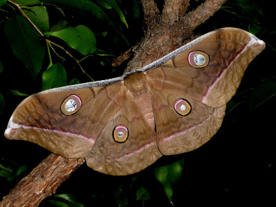 Antheraea jana female