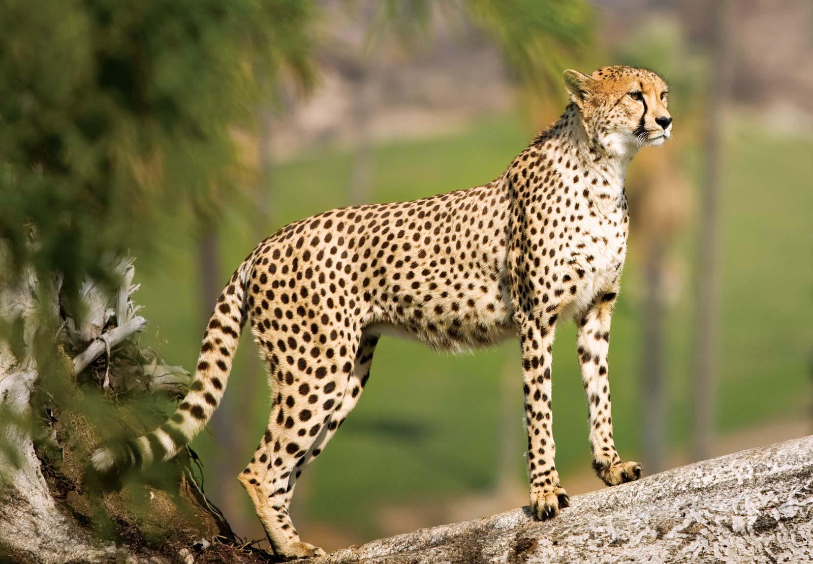 Leopardo Africano Wiki Reino Animalia FANDOM