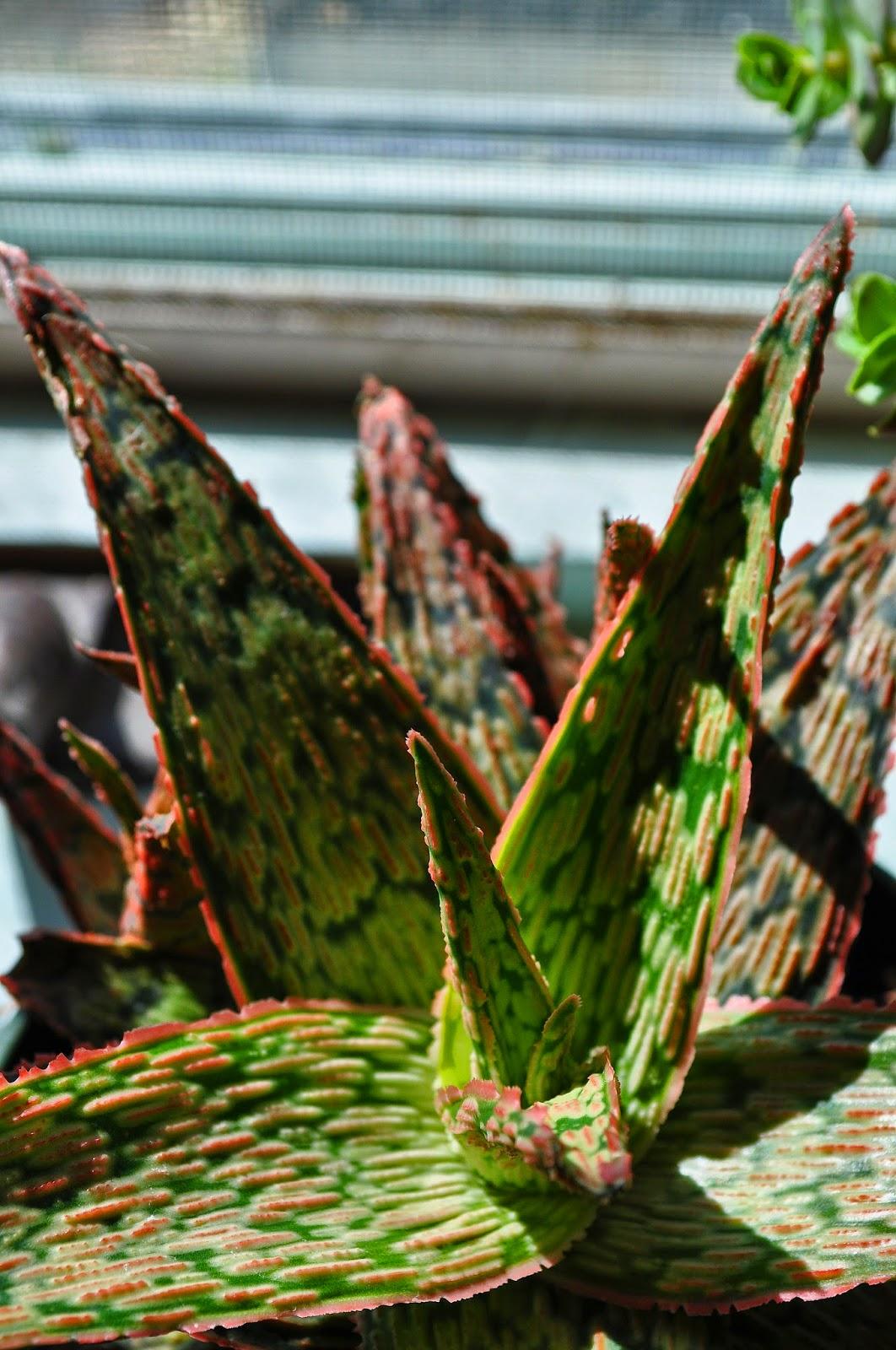 A Tidewater Gardener: ... Euphorbia Amygdaloides Ruby Glow
