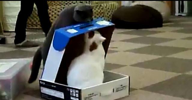 Un gato que encierra a otro en una caja, video gracioso