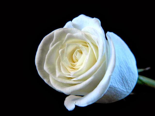White Rose Wallpapers Free Download
