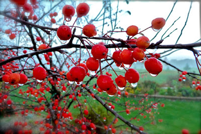 glistening morning dew drops on the red berries of a tree