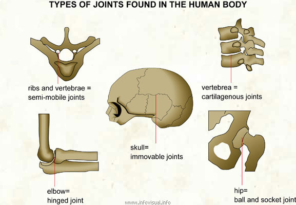 What Are the Joints in Human Body