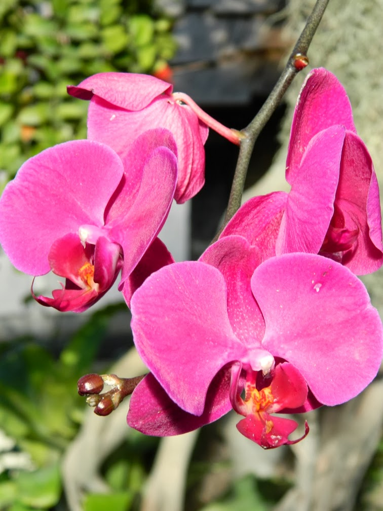 Phalaenopsis pink moth orchid Allan Gardens Conservatory 2014 Spring Flower Show by garden muses-not another Toronto gardening blog
