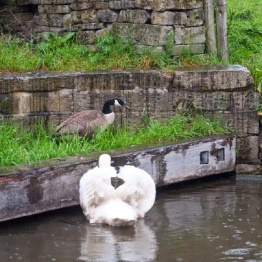 mute swan and Canada goose