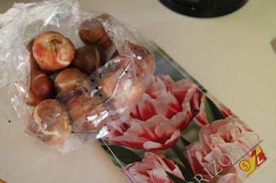 Tulppaanin sipuleiden istutus