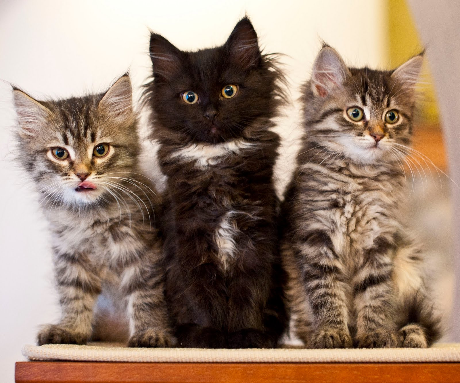 Home with pets picture perfect kittens The three cats