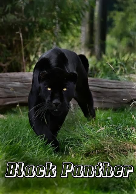 Number six,  Black panther  pic, laying down