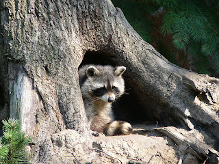 Raccoon in a tree cavity