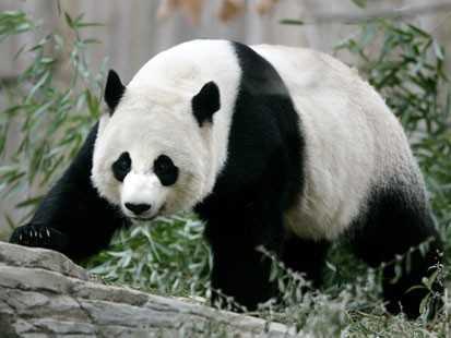 Panda adulto