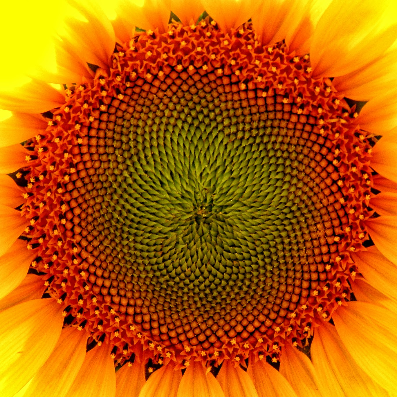 [Jeu] Association d'images - Page 5 61+sunflower-extreme-close-up-full-size1