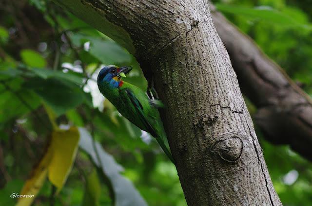 雞南山的五色鳥。Pentax A*85