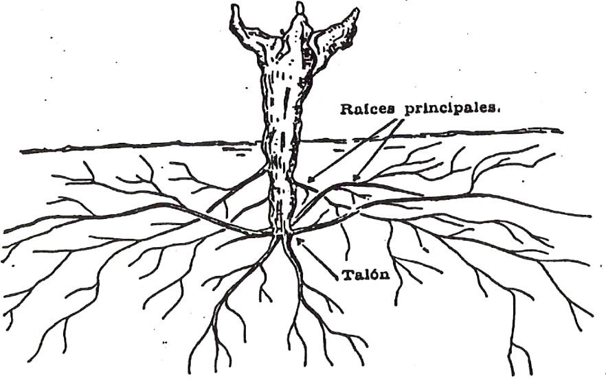 Urbina Vinos Blog: Morfología de la Vid (Vitis Vinifera L.)
