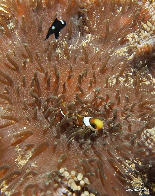 Очень маленький anemon fish