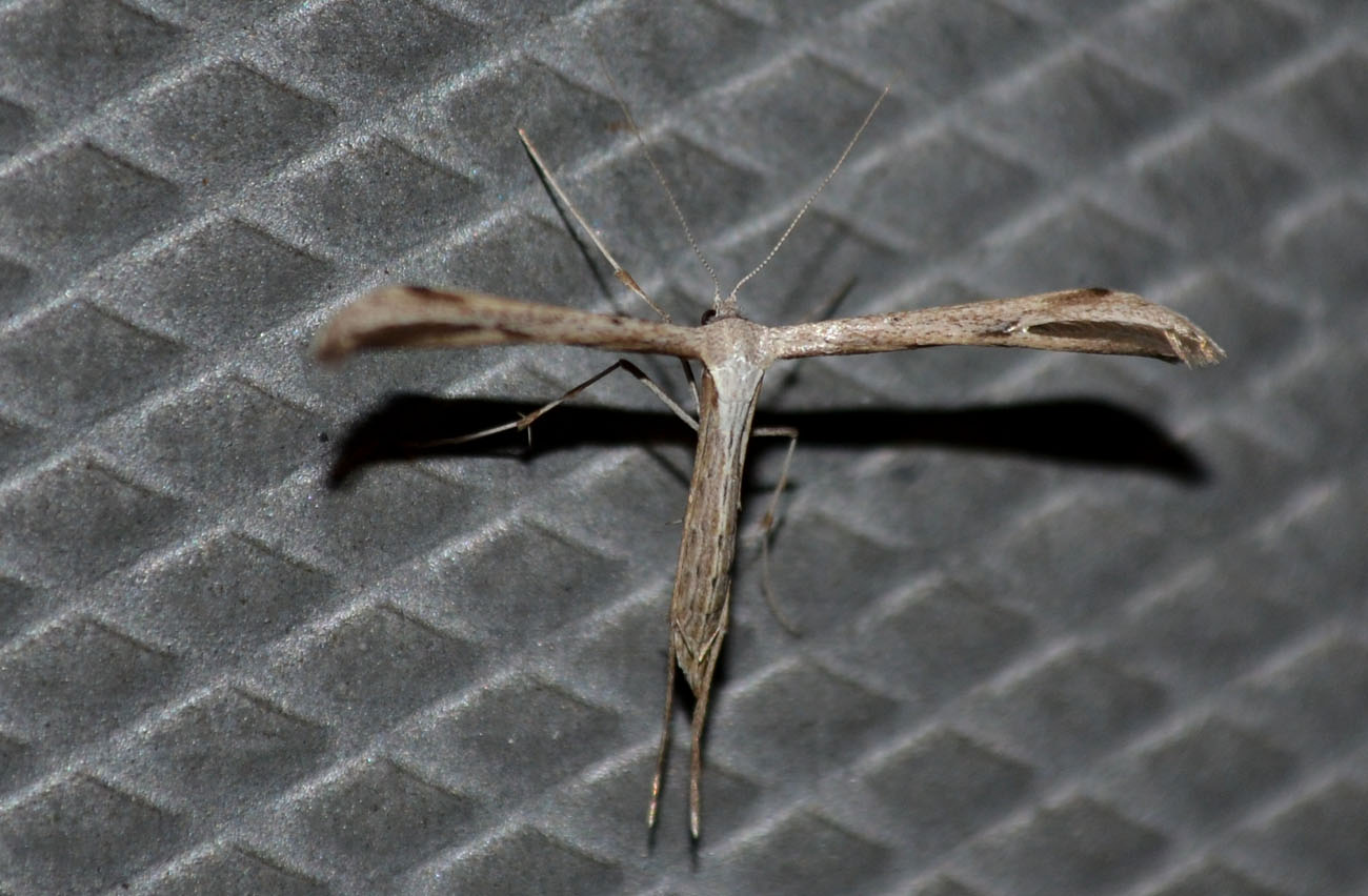 woods walks and wildlife plume moth how do you fly. Black Bedroom Furniture Sets. Home Design Ideas