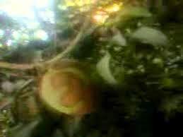 بالصور .. شجرة مانجو تثمر ثمارا مكتوب عليها لفظ الجلالة بمحافظه قنا في مصر