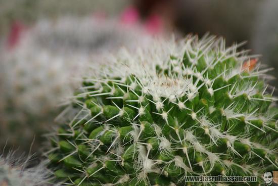 Kaktus Cameron Highlands
