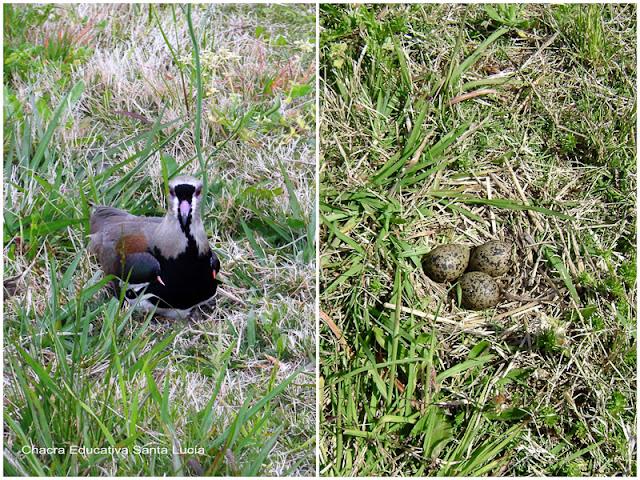 Los huevos de tero se camuflan con la vegetación del suelo - Chacra Educativa Santa Lucía