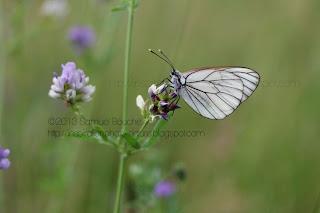macro gazé papillon d'été avec ailes transparentes