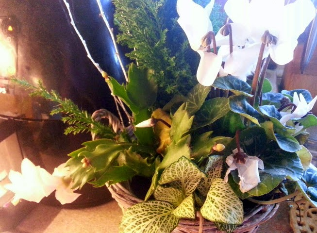 Bunches plants reviewed Frosty Flower Basket plants in bloom