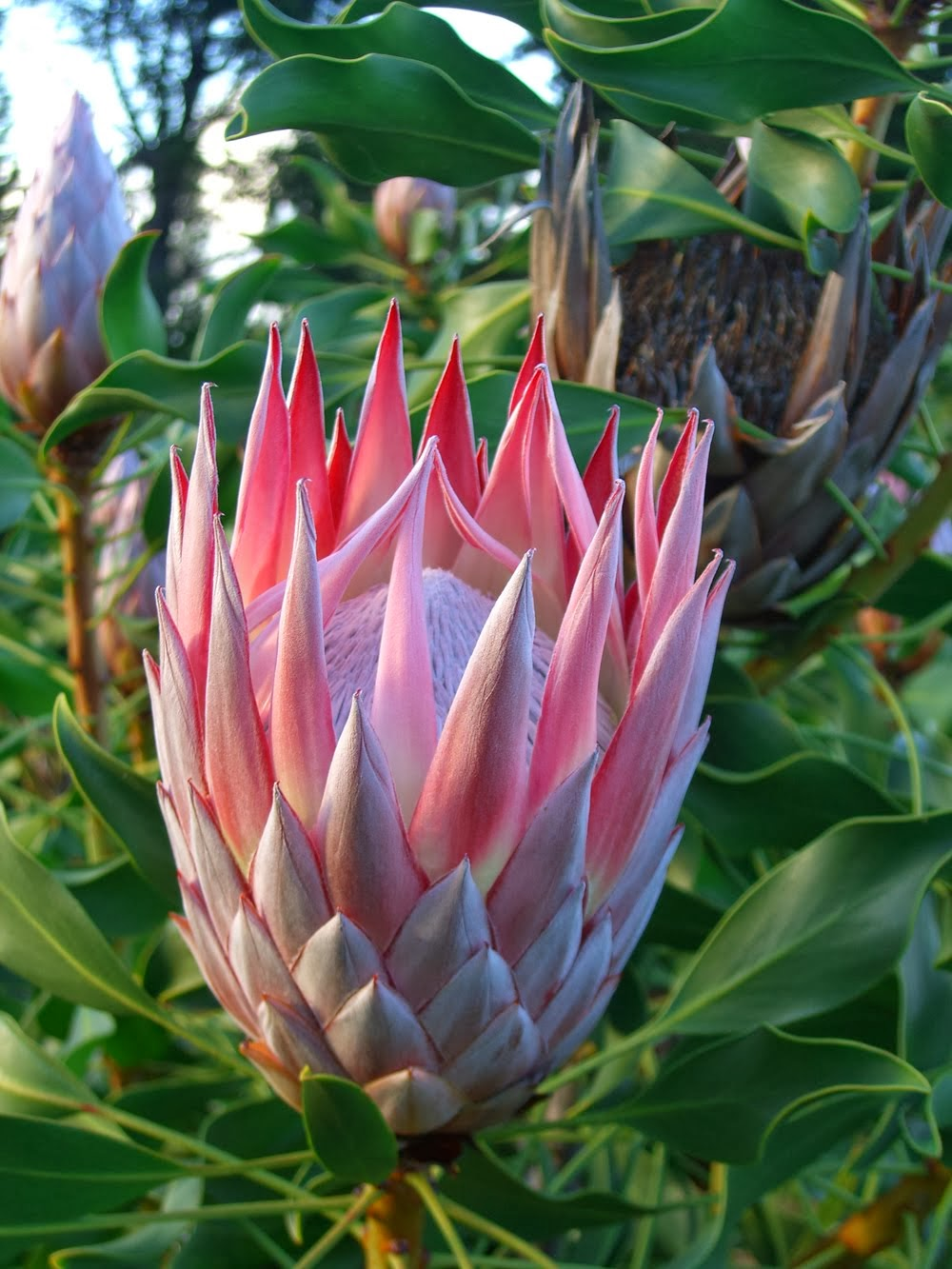 Come see our King Protea
